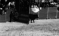 A bull entering a bullring in front of many spectators