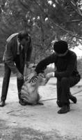 James A. Michener and an unidentified man petting a hyena, 1966