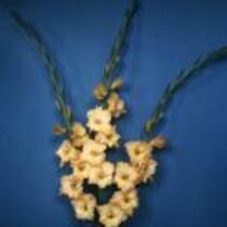 """Gladiolus """"Glenys"""""""