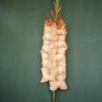 """Gladiolus """"Favourelle"""""""