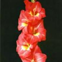"Gladiolus ""Fresco"""
