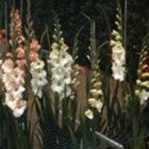 "Gladiolus ""Bedelia"" in garden"