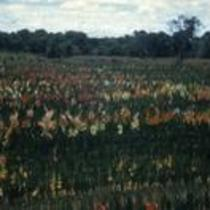 Field planting, 1955-56