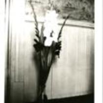 "Gladiolus ""Star of Bethlehem and Commander Koehl"""