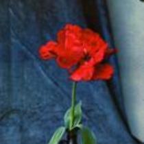 """Gladiolus """"Erna Lindgren"""""""