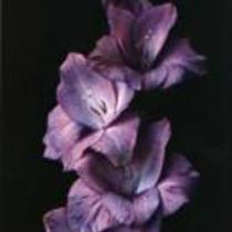 """Gladiolus """"Debussy"""""""