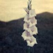 """Gladiolus """"Beulah Dortnan"""""""