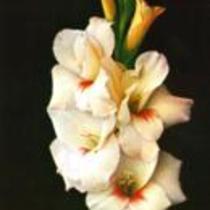 """Gladiolus """"Goodwill"""""""