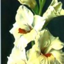 "Gladiolus ""D'Artagnan"""