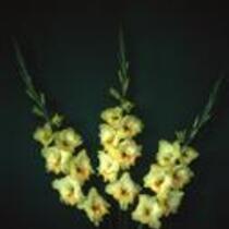 "Gladiolus ""Greenore"""