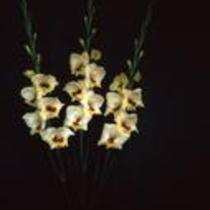 """Gladiolus """"Berdina"""""""