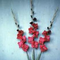 "Gladiolus ""Teina"""