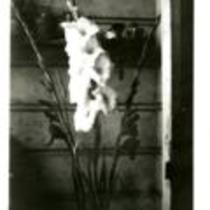 "Gladiolus ""Star of Bethleham"