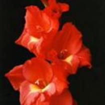 "Gladiolus ""Cezanne"""