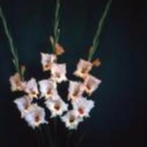 "Gladiolus ""Elsma"""